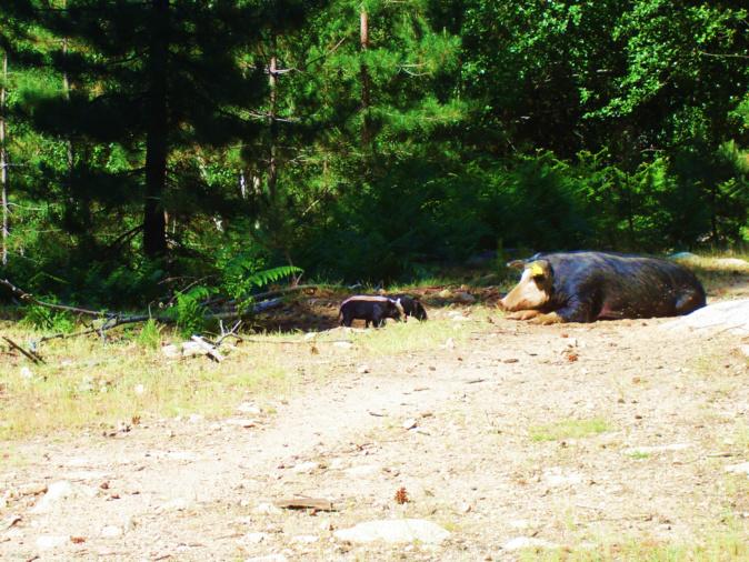 La famille cochons